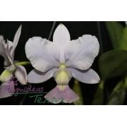Cattleya walkeriana coerulea Azulinho TE