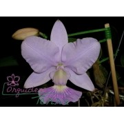 Cattleya walkeriana coerulea Blue Star TE