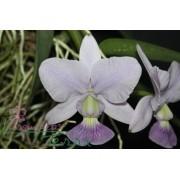Cattleya walkeriana coerulea Blues Queen