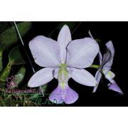 Cattleya walkeriana coerulea Marimbondo