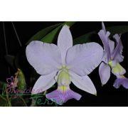 Cattleya walkeriana coerulea Oswaldo Franchini TE