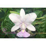 Cattleya walkeriana coerulea Prima