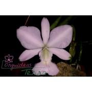 Cattleya walkeriana concolor Valtinho