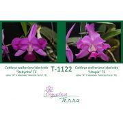 "Cattleya walkeriana labeloide ""Debynha"" TE X Cattleya walkeriana labeloide ""Utopia"" TE"