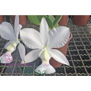 Cattleya walkeriana semi-alba