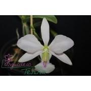 Cattleya walkeriana semi-alba Hirata