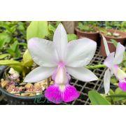 Cattleya walkeriana suave