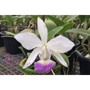 Cattleya walkeriana suave