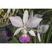 Cattleya walkeriana suave Esperança