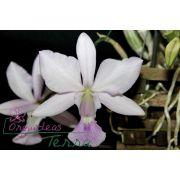Cattleya walkeriana suave Lúcia Hermínia