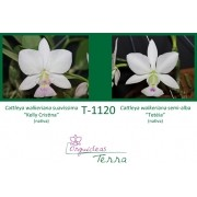 Cattleya walkeriana suavíssima Kelly Cristina X Cattleya walkeriana semi-alba Tetéia