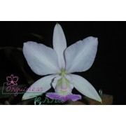 Cattleya walkeriana suavíssima Nuporanga