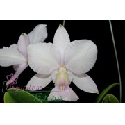 Cattleya walkeriana suavíssima Requinte TE