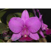 Cattleya walkeriana tipo Aroeira