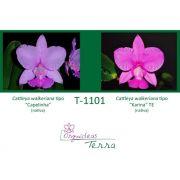 Cattleya walkeriana tipo Capelinha X Cattleya walkeriana tipo Karina TE