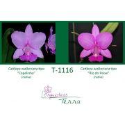 Cattleya walkeriana tipo Capelinha X Cattleya walkeriana tipo Rio de Peixe