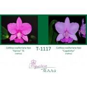 Cattleya walkeriana tipo Karina TE X Cattleya walkeriana tipo Capelinha
