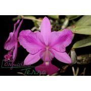 Cattleya walkeriana tipo labeloide Raio de Catatumbo TE