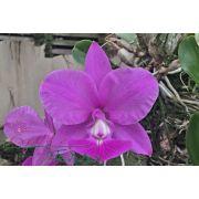 Cattleya walkeriana tipo Licuala TE