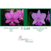 Cattleya walkeriana tipo Tuta X Cattleya walkeriana tipo Capelinha