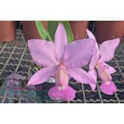 Cattleya walkeriana vinicolor
