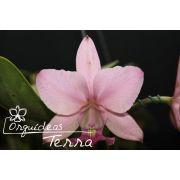 Cattleya walkeriana vinicolor Roberta Terra TE