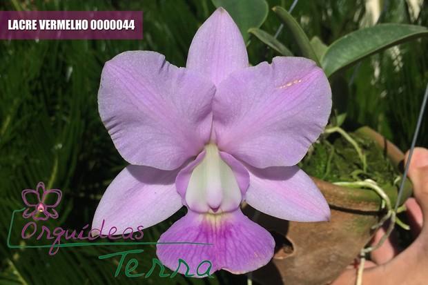 Cattleya walkeriana coerulea  - Orquídeas Terra