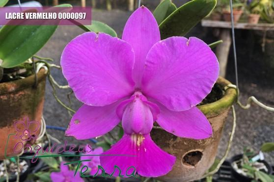 Cattleya walkeriana tipo  - Orquídeas Terra