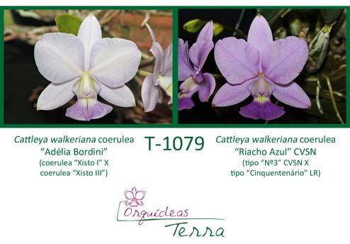 """Cattleya walkeriana coerulea """"Adélia Bordini"""" X Cattleya walkeriana coerulea """"Riacho Azul"""" CVSN  - Orquídeas Terra"""