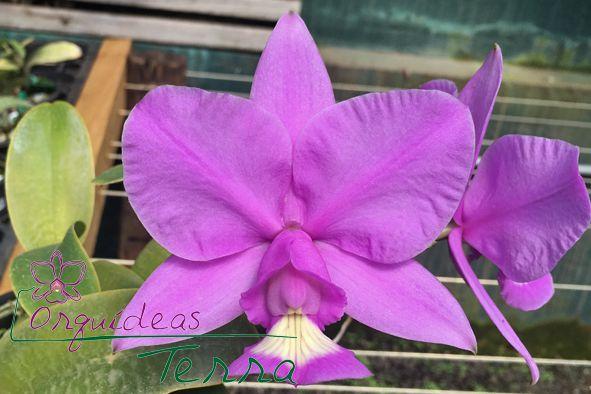 Cattleya nobilior tipo Raí Manzan TE  - Orquídeas Terra