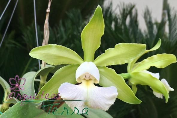 Cattleya schilleriana albescens  - Orquídeas Terra