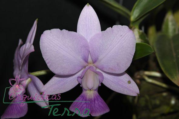 Cattleya walkeriana coerulea Andrezinho CVSN  - Orquídeas Terra