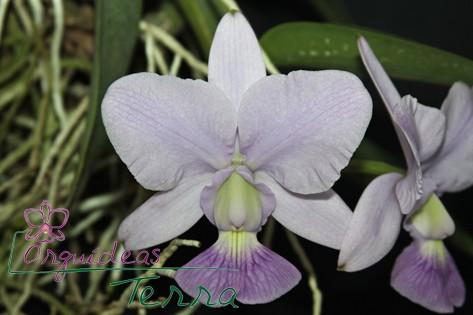 Cattleya walkeriana coerulea Blues Queen  - Orquídeas Terra