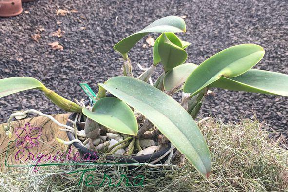 Cattleya walkeriana coerulea Oswaldo Franchini TE  - Orquídeas Terra