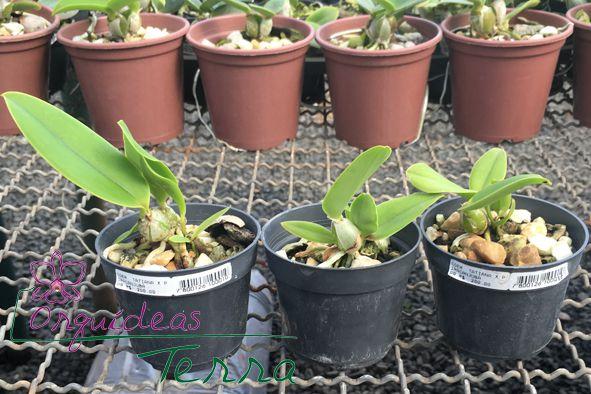 Cattleya walkeriana coerulea Tatiana X Cattleya walkeriana coerulea Piracanjuba  - Orquídeas Terra