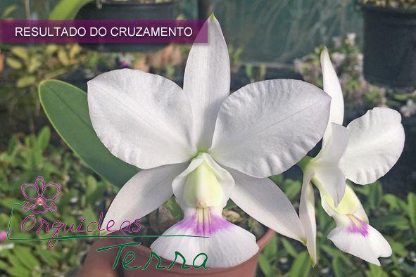 Cattleya walkeriana semi-alba Fatinha X Cattleya walkeriana semi-alba Tetéia  - Orquídeas Terra