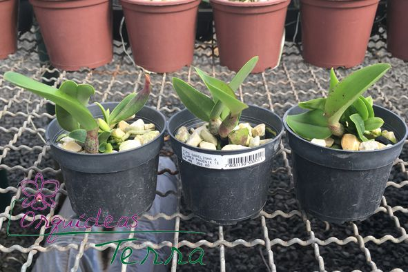 Cattleya walkeriana tipo Capelinha X Cattleya walkeriana flâmea Phoenix TE  - Orquídeas Terra
