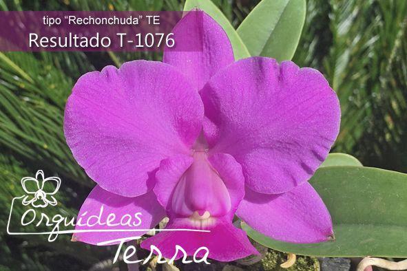Cattleya walkeriana tipo Eleganza CVSN X Cattleya walkeriana tipo Gabriela Costa TE  - Orquídeas Terra