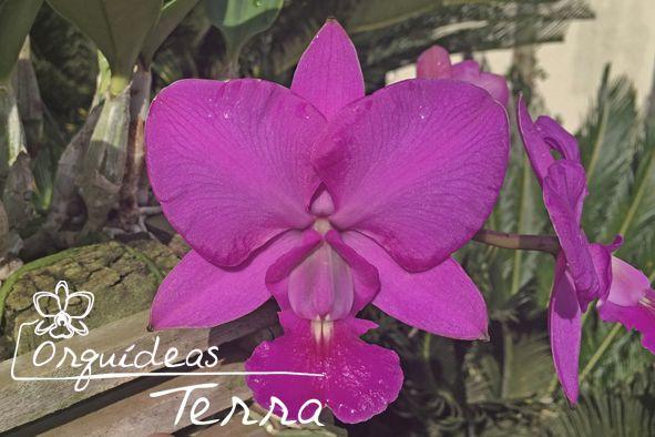 Cattleya walkeriana tipo Feiticeira (Full Red)  - Orquídeas Terra