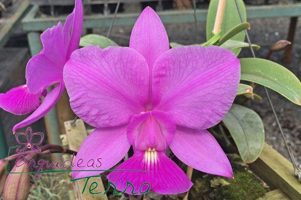 Cattleya walkeriana tipo Jataí  - Orquídeas Terra
