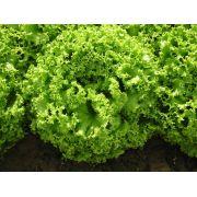 Alface Crespa Orgânica -  Agricultor Lourenço