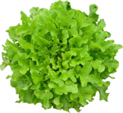 Alface Mimosa Orgânica EcoVida -  Lourenço