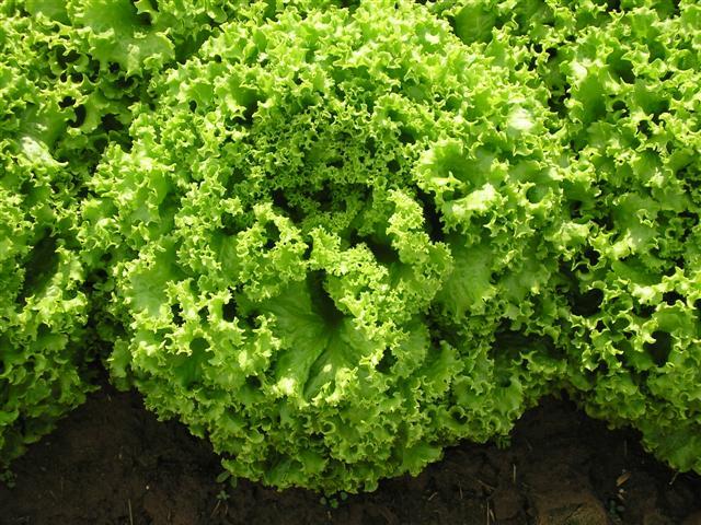Alface Crespa Orgânica -  Agricultor João