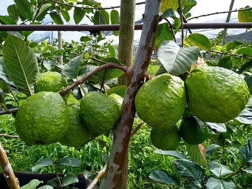 GOIABA 1KG - Agricultor Zé da Uva