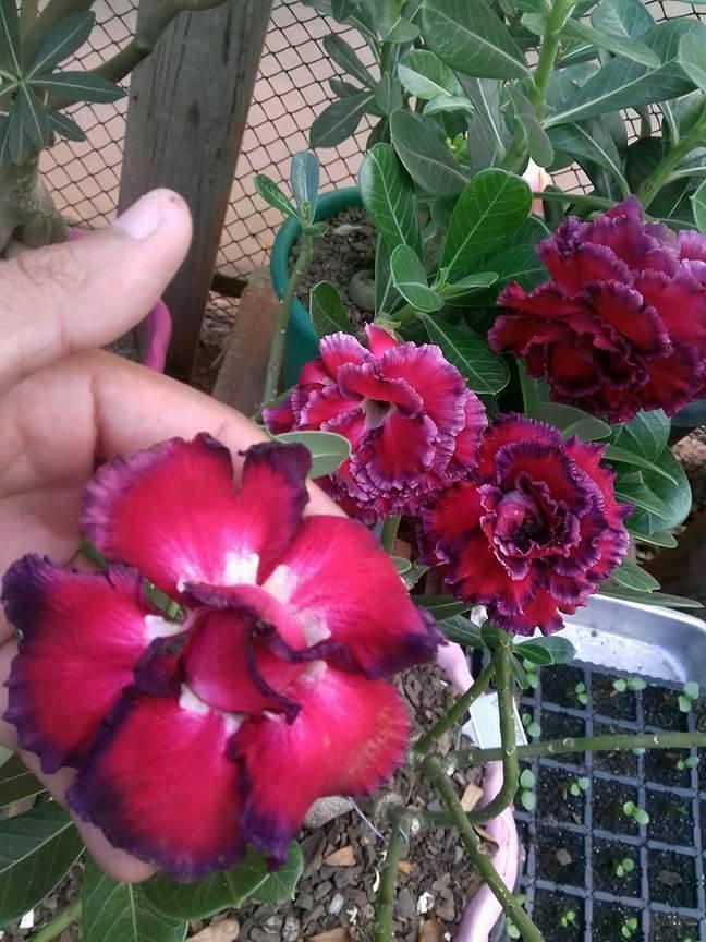 10 Mudas de Rosa do Deserto