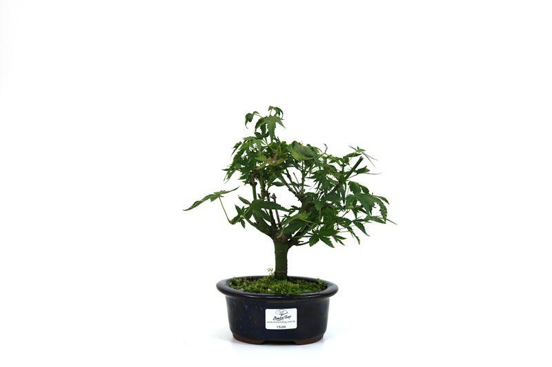 Bonsai Acer Deshojo aproximadamente 03 anos - medida da planta (AxL) 19x16 cm