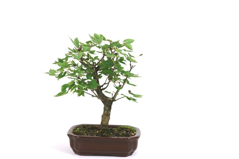 Bonsai Acer Kaede 04 anos - medida da planta (AxL) 20x20 cm