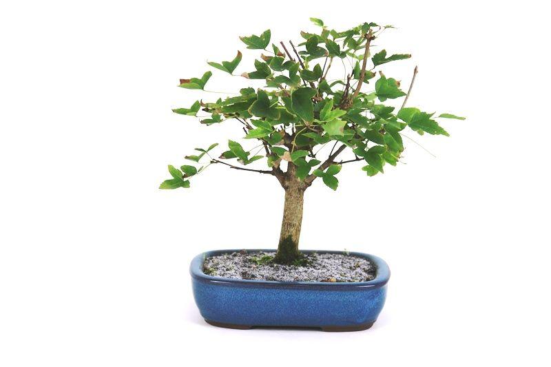 Bonsai Acer Kaede 04 anos - medida da planta (AxL) 20x22 cm