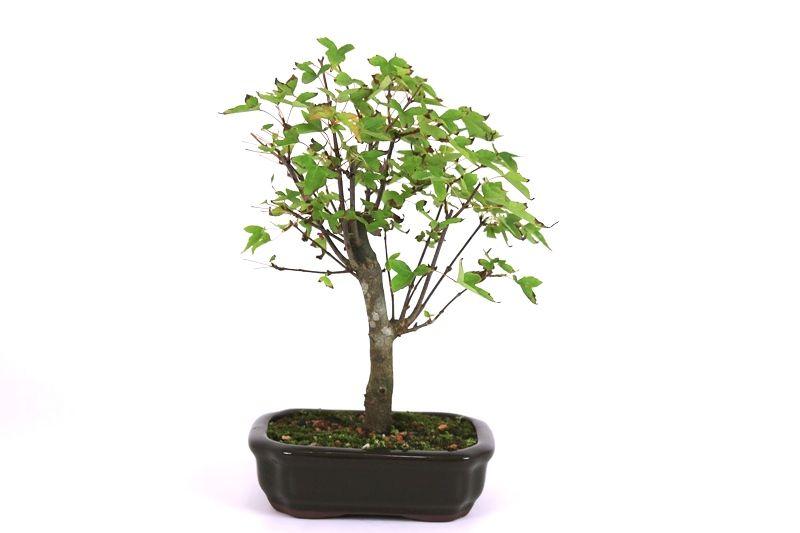 Bonsai Acer Kaede 04 anos - medida da planta (AxL) 25x22 cm