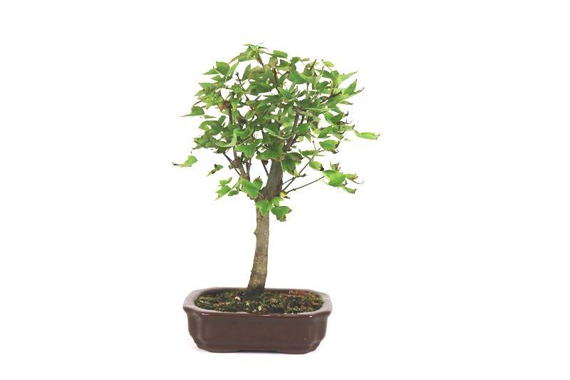 Bonsai Acer Kaede 04 anos - medida da planta (AxL) 28x21 cm